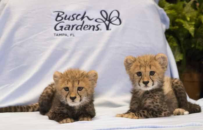 Busch Gardens Welcomes Baby Cheetahs